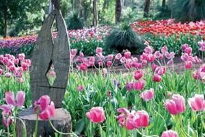 Tulips in Araluen